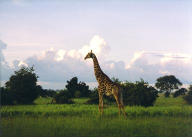 Rainy Season, 1994. This reticulated giraffe seems to tower above the vegetation along the Chobe River flood plain. One of Africa's most compelling mammals for both its size and grace, the giraffe grazes primarily on acacia tree foliage in early morning and late afternoon. The dark color of this giraffe indicate that it is a male; females are normally lighter in color and have less well-defined markings.Photo by Returned Peace Corps Volunteer Susan Ross.