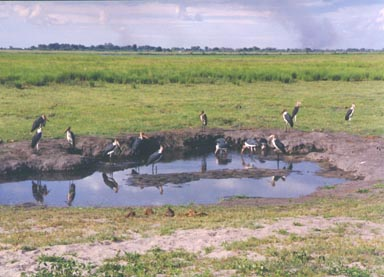 Beginning of Rainy Season, 1994. Marabou storks are among the largest of storks and, arguably, the most ugly. They are bareheaded and bare-necked with fleshy pouch on their foreneck. These Marabou Storks have gathered around a small pool where water has collected after some of the first rains of the coming rainy season. Once the rains begin the dry grasses will quickly change from yellow to green. This photograph captures that transition. It also shows storm clouds gathering on the horizon promising more rain before day's end. Photo by Returned Peace Corps Volunteer Susan Ross.