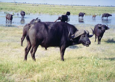 March, 1995. Cape Buffalo graze and drink on the Chobe River flood plain. Cape buffalo are often found in herds of 100 or more. They must drink each day and thus never stray too far from water. This photograph shows a large bull, females, juveniles and a small calf. If you look closely, you can see Oxpeckers on the back of some of the buffalo. These birds have very sharp claws for clinging to large mammals. Their bills are used to comb the animal for ticks and blood-sucking flies.  Photo by Returned Peace Corps Volunteer Susan Ross.