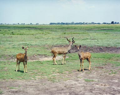 December 1994. Kudu are one of the largest, most distinctive of the antelopes. Their horns are both divergent and spiraling, 2 1/2 spirals in an adult male. The sides of their body are marked by 6 to 10 vertical stripes. These stripes serve as camouflage when they are in wooded areas. The adult male pictured here seems to be focused on any threat that may be lurking in the distant grass while the youngsters study me with undaunted curiosity. Photo by Returned Peace Corps Volunteer Susan Ross.