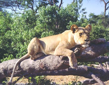 Winter, 1995. A lioness lounges on a tree felled by elephants. I had spent several hours one morning watching a lion pride hunt Cape buffalo. Unsuccessful in their attempts; the sun now high in the sky; and the temperature rapidly rising, the group abandoned their efforts and retired to the shade. Tired, hungry but not defeated they would hunt again at sunset.  Photo by Returned Peace Corps Volunteer Susan Ross.