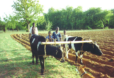 Bawku, Northern Ghana, 1992. After the first rains, the fields must be plowed. Plowing is typically done with bullocks or cows. Photo by Peace Corps Volunteer Wayne Breslyn.